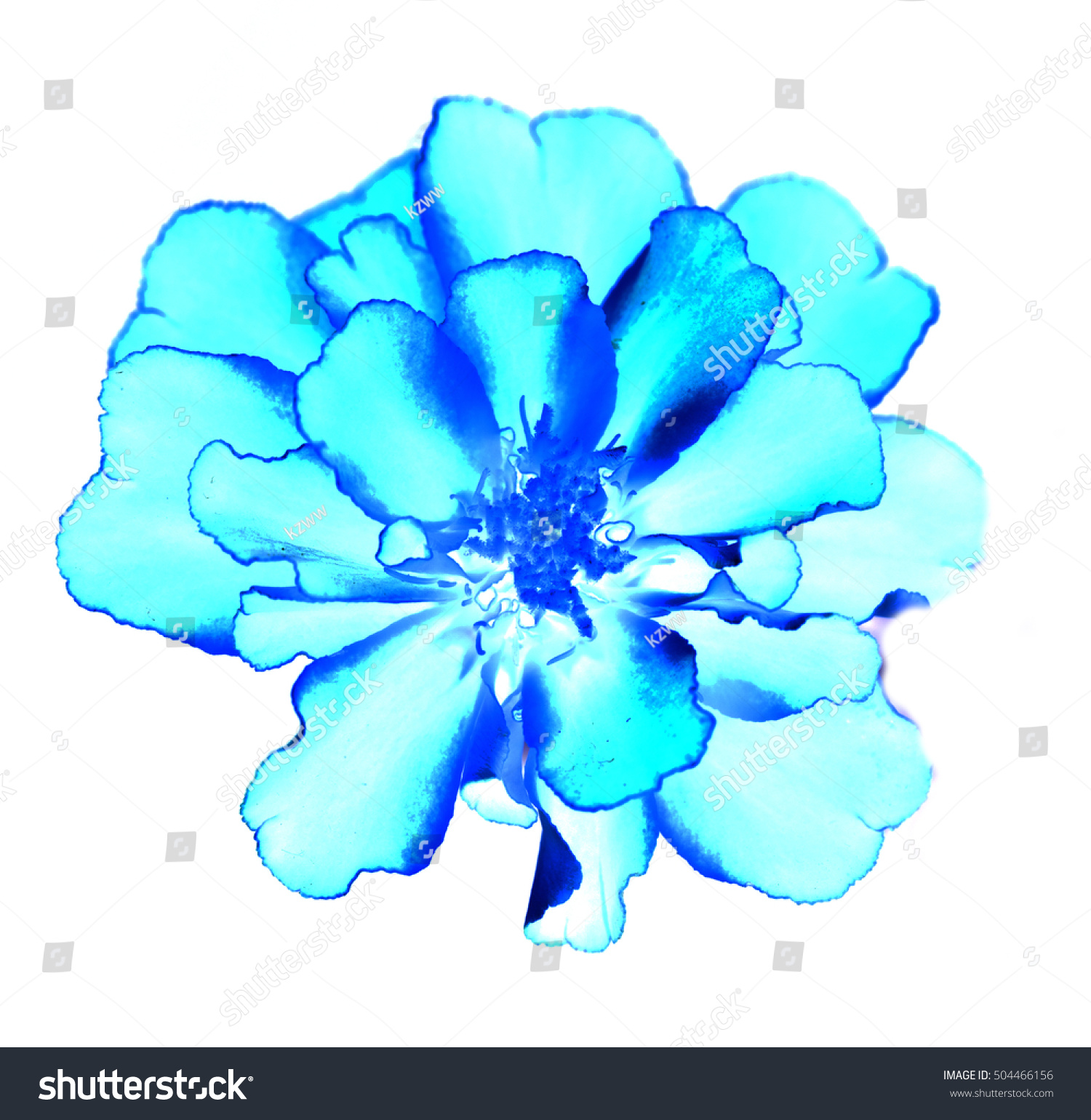 Royalty Free Surreal Exotic Blue Marigold Flower 504466156 Stock