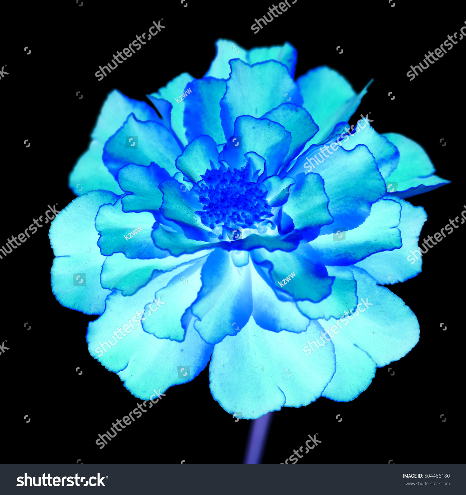 Royalty Free Surreal Exotic Blue Marigold Flower 504466180 Stock