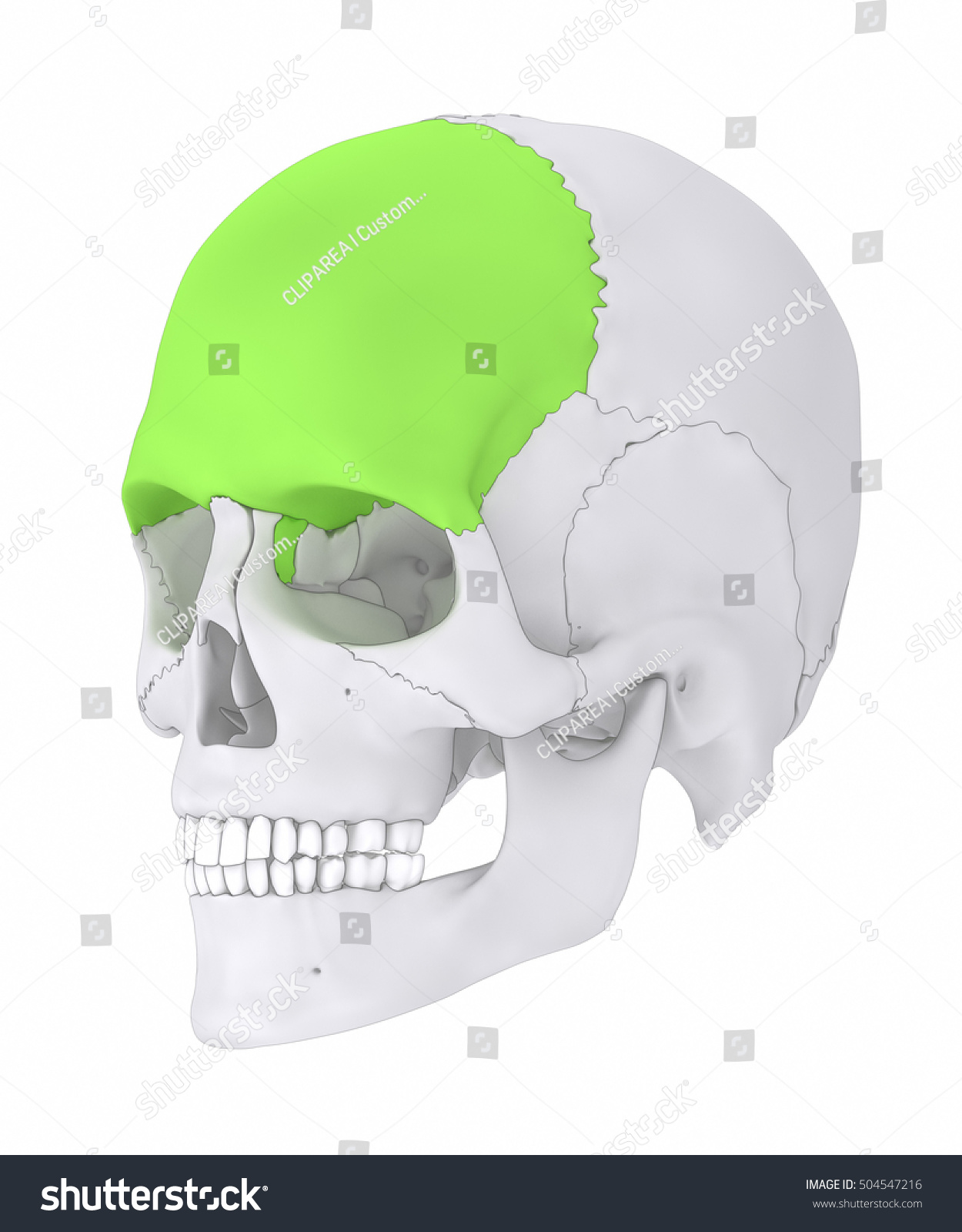 Frontal Bone Os Frontale 3 D Illustration Stock Illustration