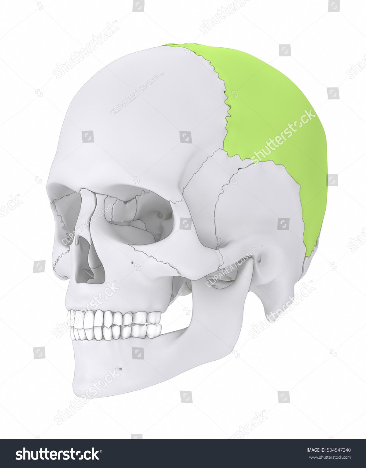 Parietal Bone Os Parietale 3 D Illustration Stock Illustration