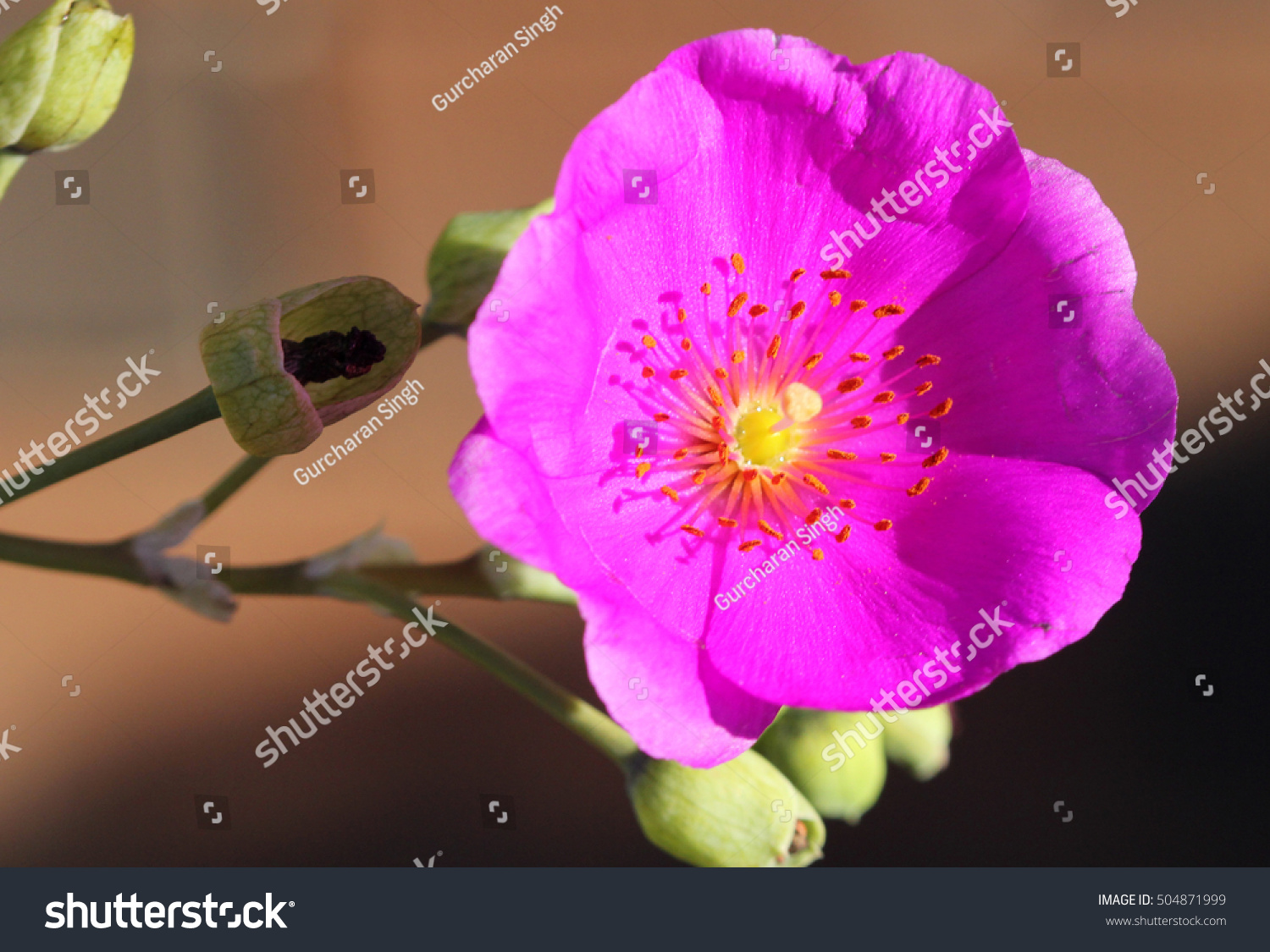 Calandrinia Grandiflora Rock Purslane Perennial Herb Stock Photo