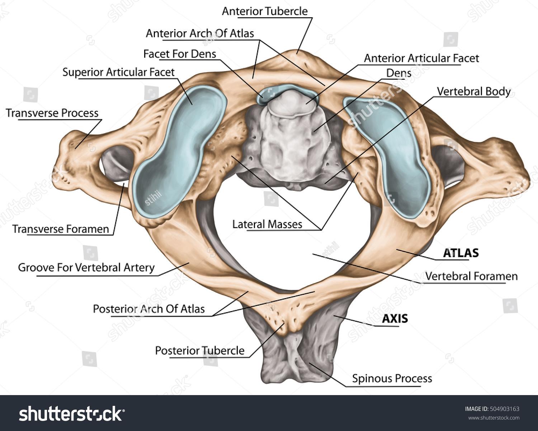 stock photo cervical spine vertebral morphology first and second cervical vertebra cervical vertebrae atlas 504903163 cervical spine vertebral morphology first second stock illustration