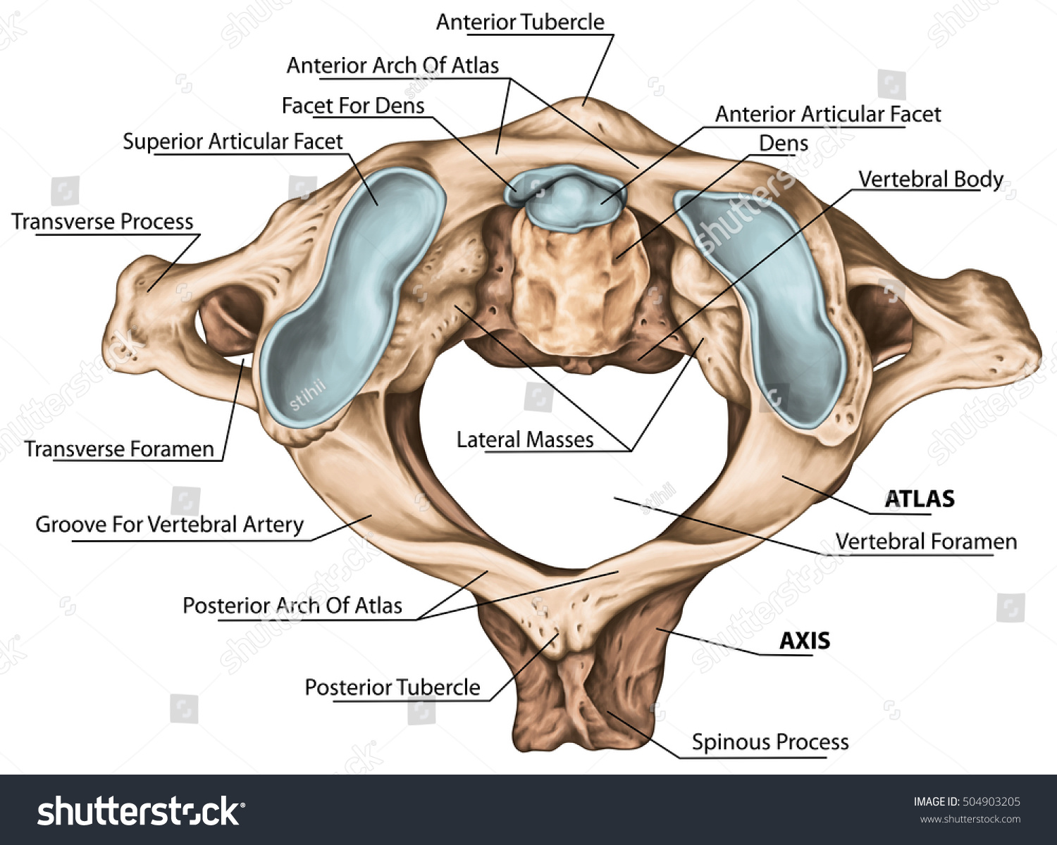 Cervical Spine Vertebral Morphology First Second Stock Illustration