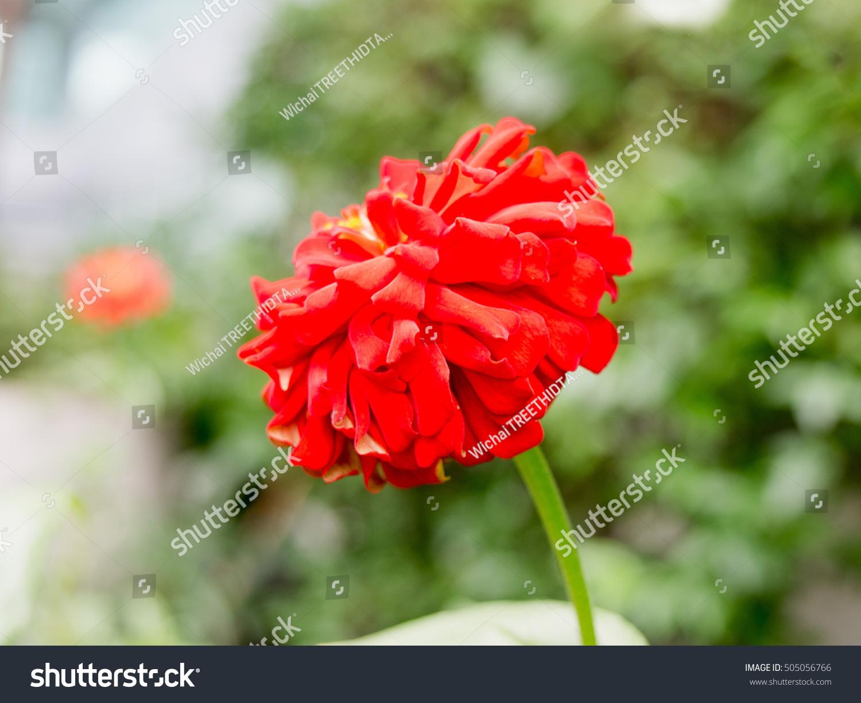 Sparkle beautiful red flower garden stock photo edit now 505056766 sparkle beautiful red flower in the garden izmirmasajfo