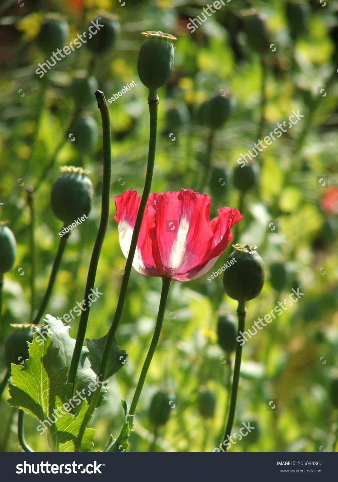 Close flowers opium plants drugs illegal stock photo edit now close up flowers opium plants drugs and illegal beautiful but harmful to the body izmirmasajfo
