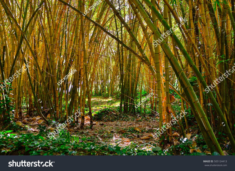 Hawaii Kauai Allerton Garden Bamboo Forest Stock Photo (Edit Now ...