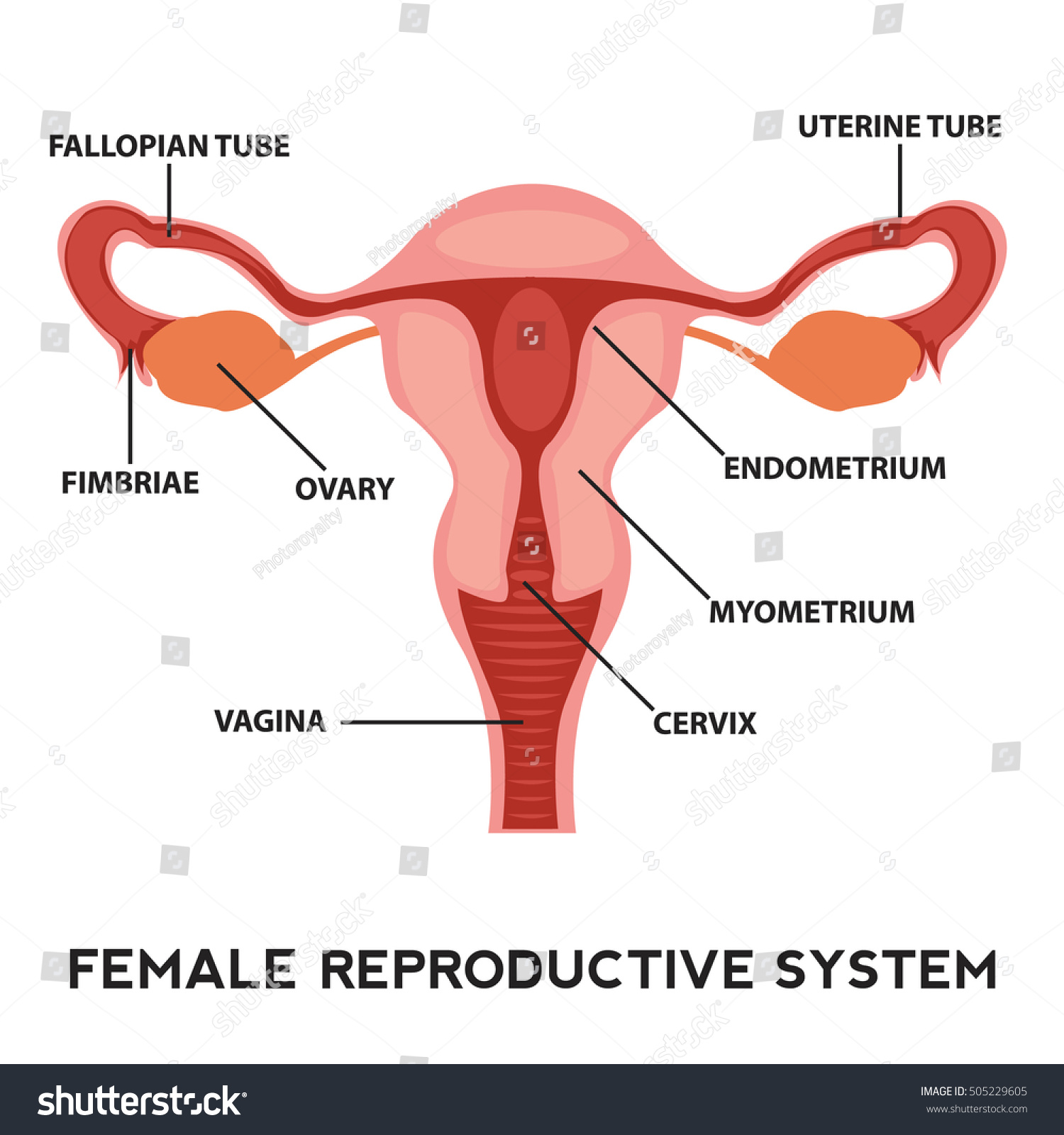 Female Reproductive System Image Diagram Vagina Stock-Vektorgrafik ...