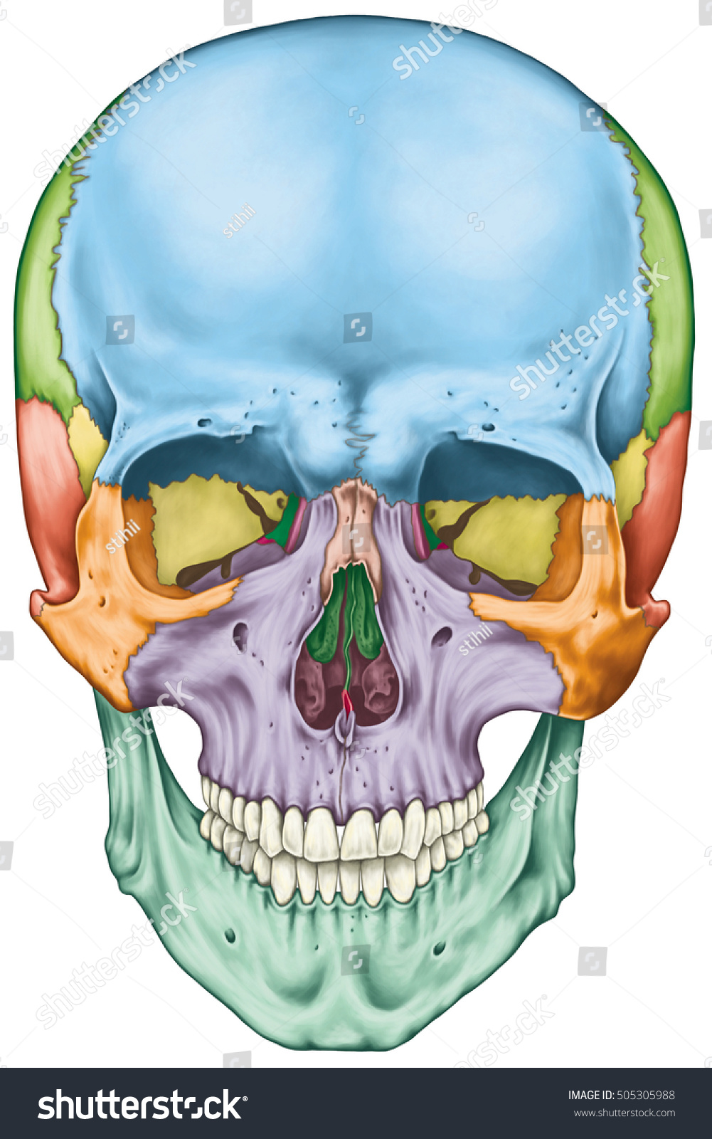 Bones Cranium Bones Head Skull Individual Stock Illustration