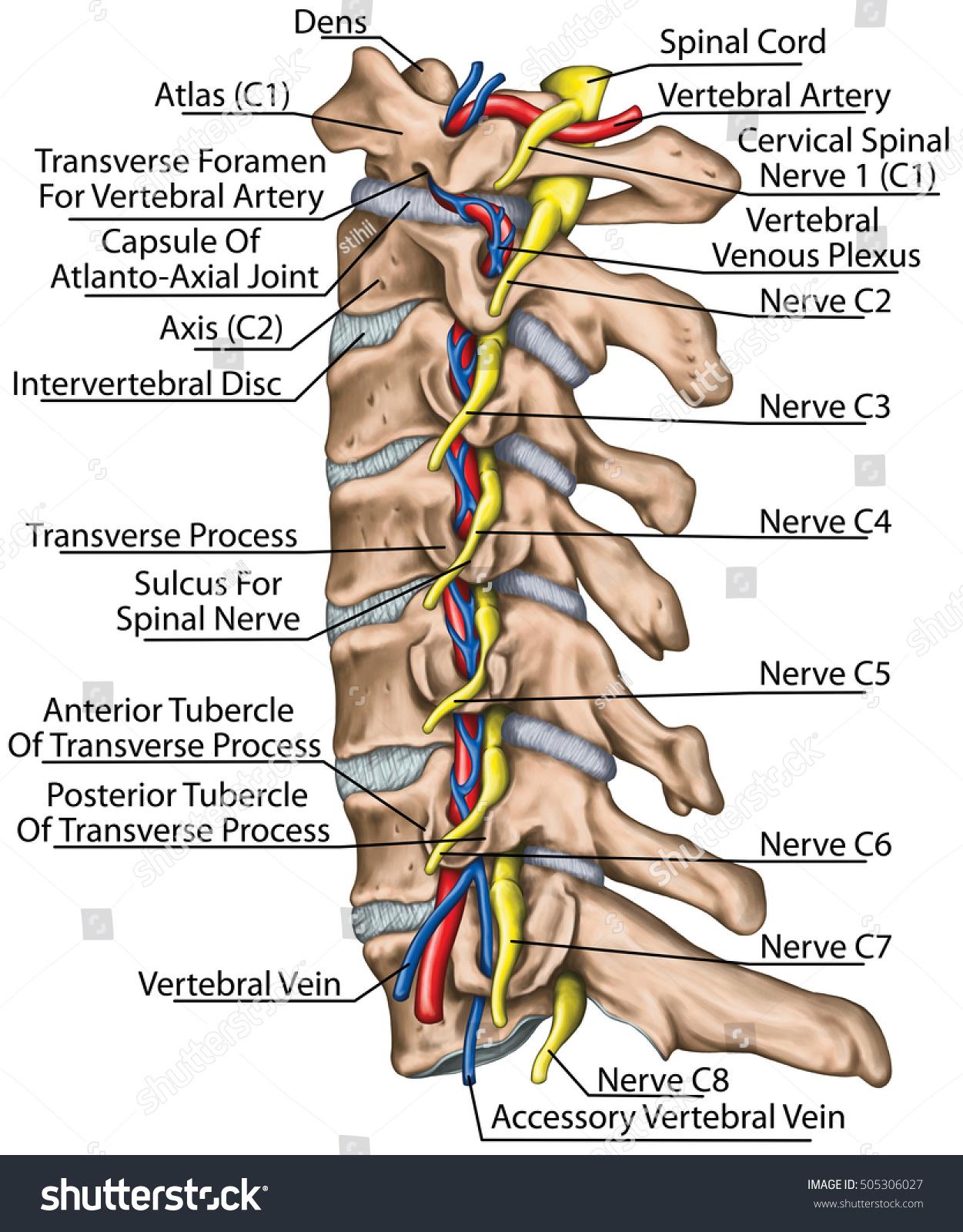 Diagram Of Nerves In Cervical Spine - Information Of Wiring Diagram •