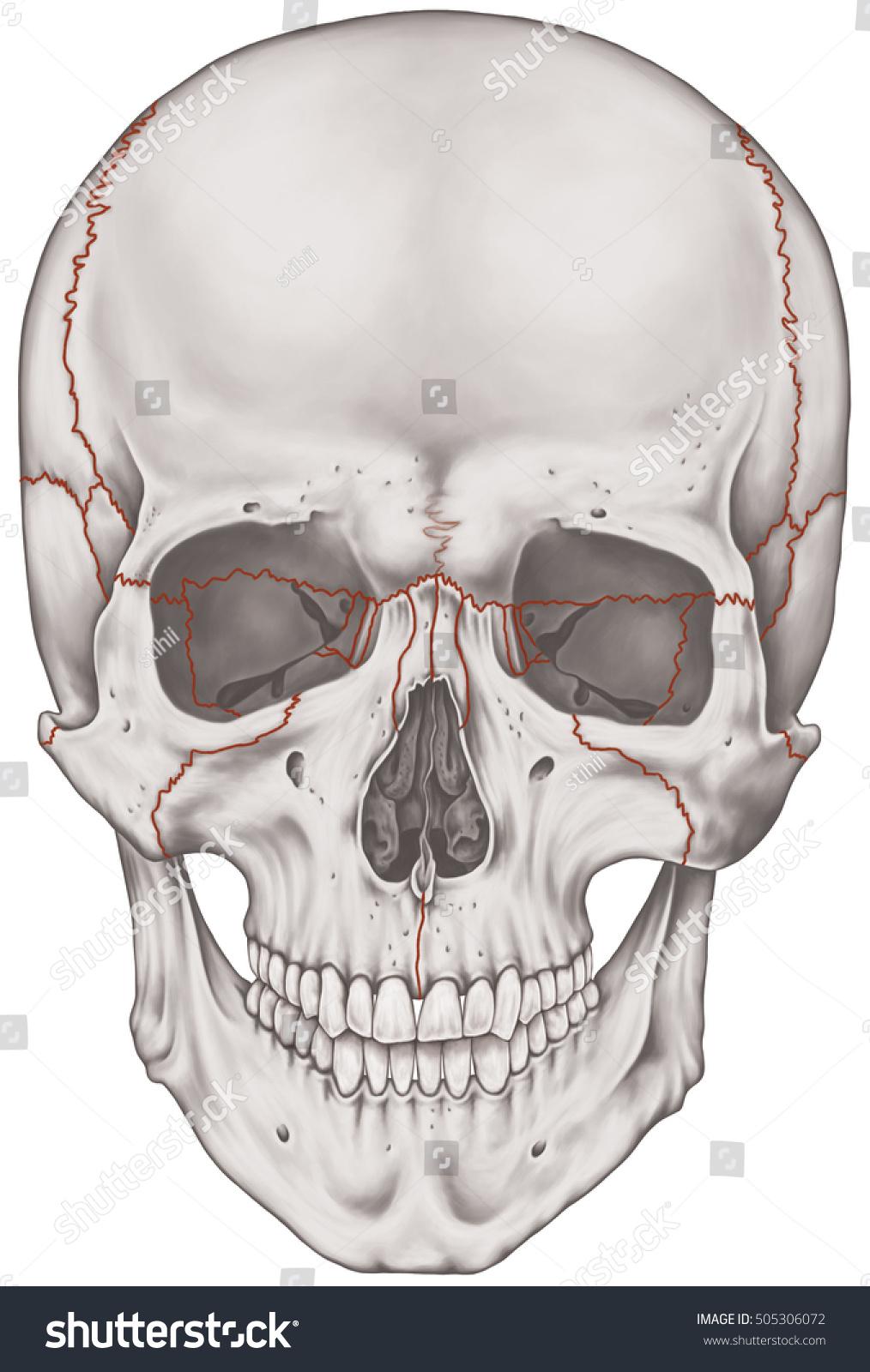 Sutures Joints Bones Cranium Head Skull Stock Illustration 505306072 ...