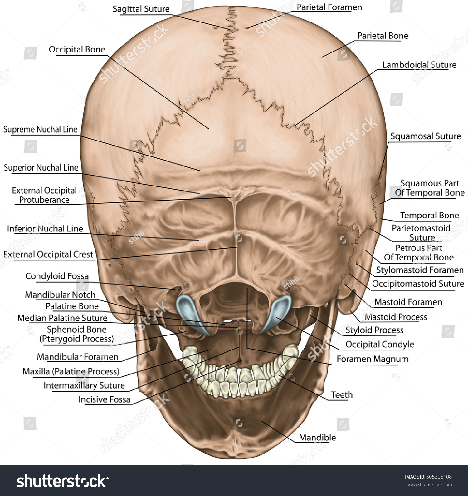 Bones Cranium Skull Anatomical Construction Bones Stock Illustration