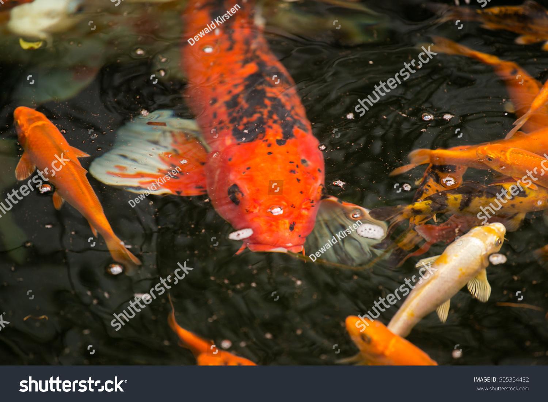 Beautiful koi carp feeding on food stock photo 505354432 for Feeding koi fish