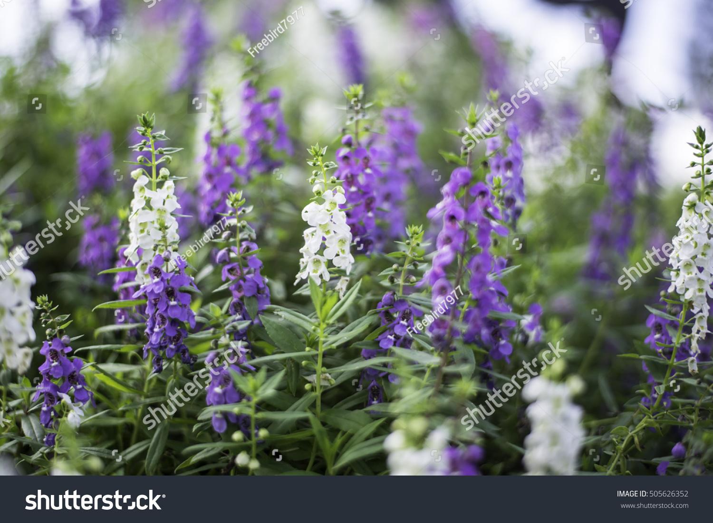 Select Focus Flowers Bush Violet Purple Stock Photo Royalty Free
