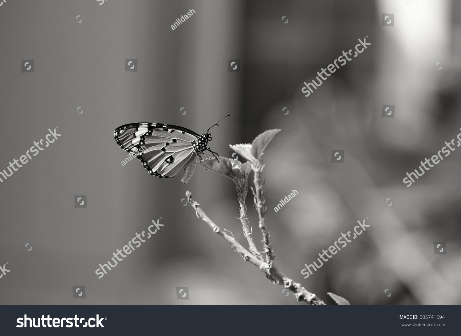 Black white butterfly photography stock photo edit now 505741594