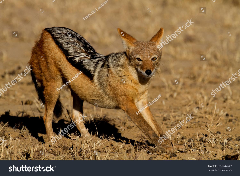 Jackal Kalahari Stock Photo Edit Now 505742647 Shutterstock