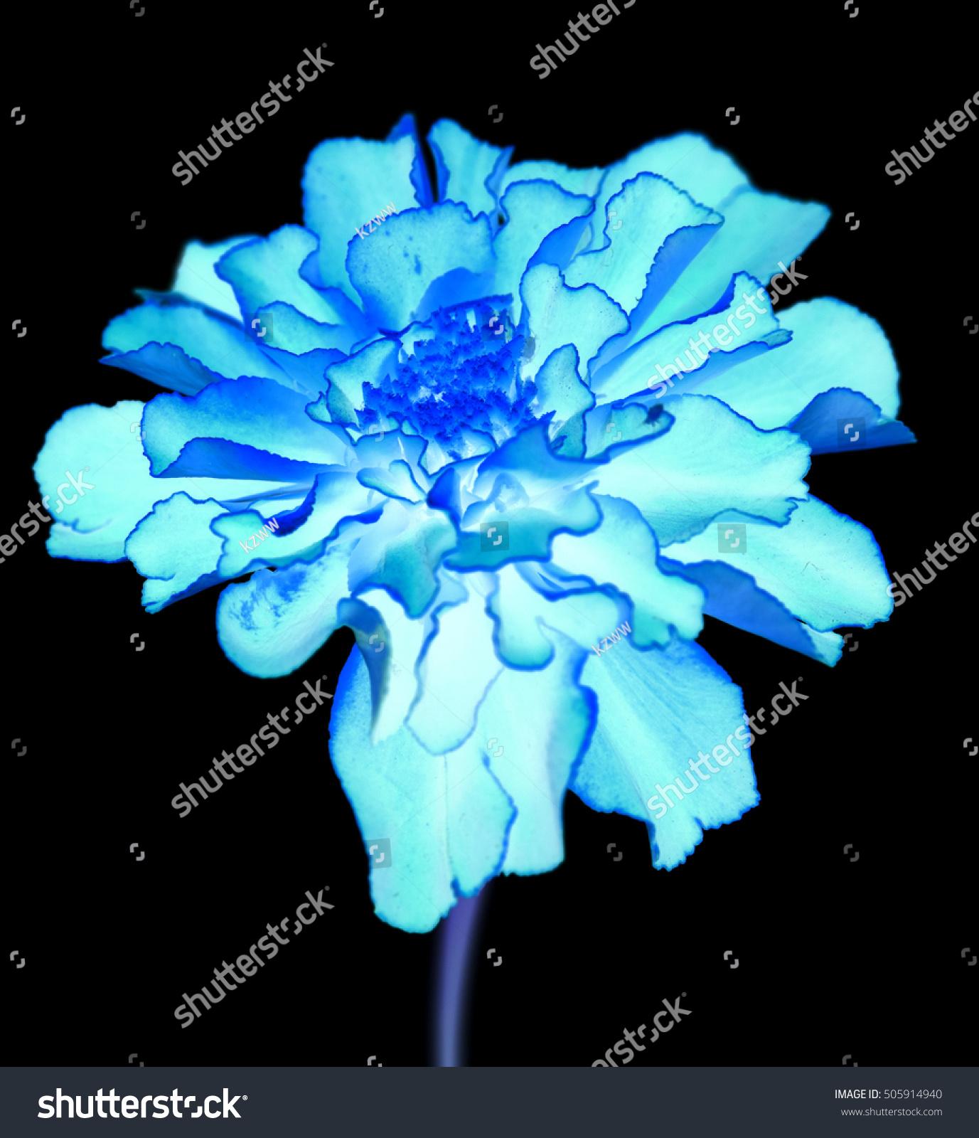 Surreal Exotic Blue Marigold Flower Macro Stock Photo Edit Now