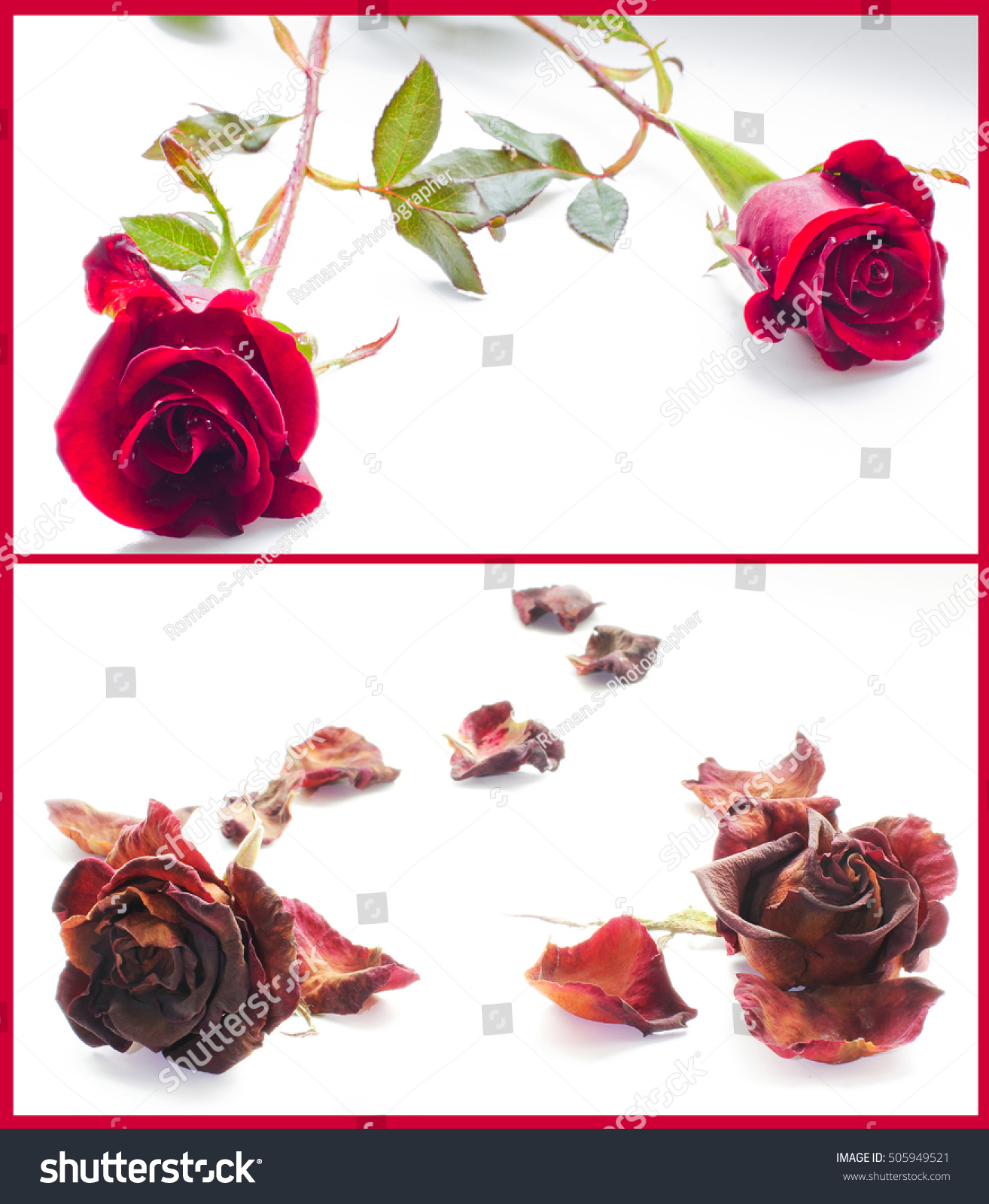 Collage two photos life death red stock photo royalty free a collage of two photos life and death red roses on white mightylinksfo