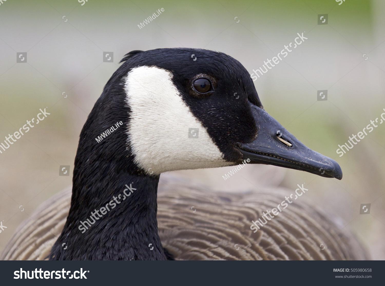 Beautiful portrait funny canada goose stock photo 505980658 beautiful portrait of a funny canada goose biocorpaavc Gallery
