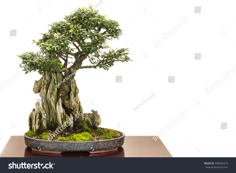 Chinese Elm Ulmus Parvifolia Bonsai Tree Stock Photo Edit Now 506006413