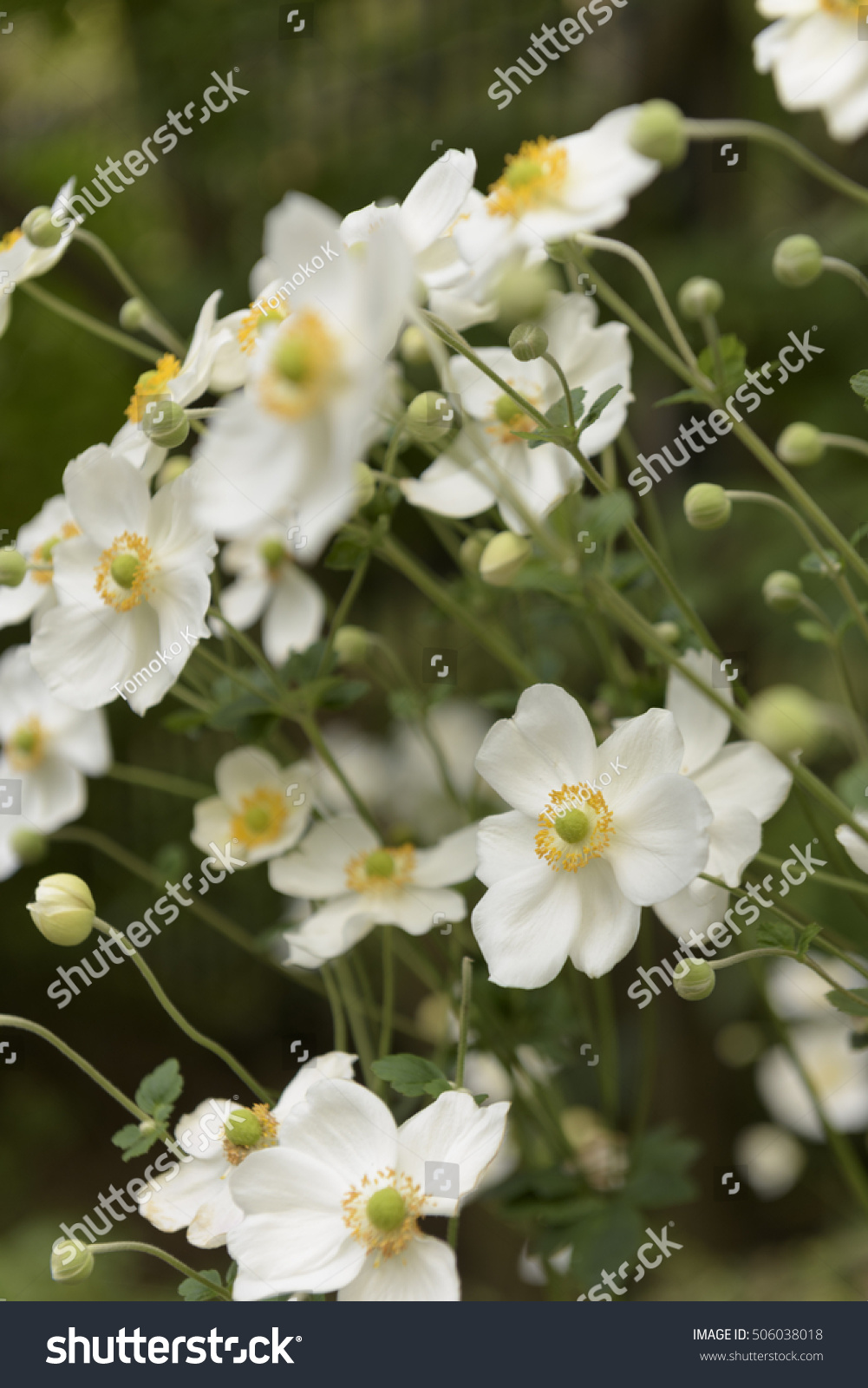 White Japanese Anemone Flowers Ez Canvas