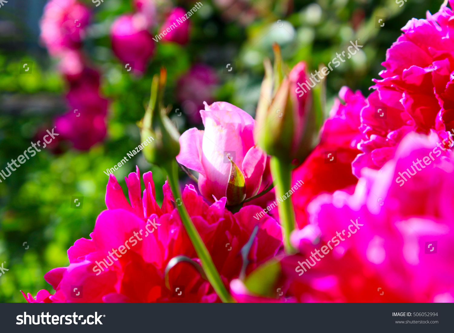Flowering Plants Pink Flowers Red Green Stock Photo Royalty Free