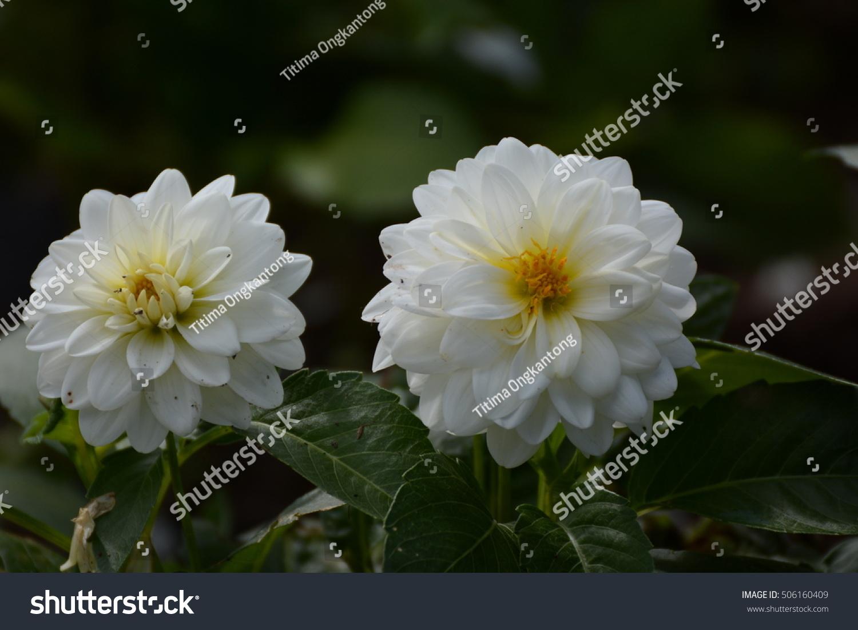 White Chrysanthemums Autumn Flowers Ez Canvas