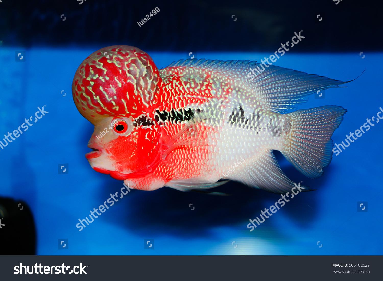 Flowerhorn Crossbreed Cichlid Pet Fish Tank Stock Photo (Safe to Use ...