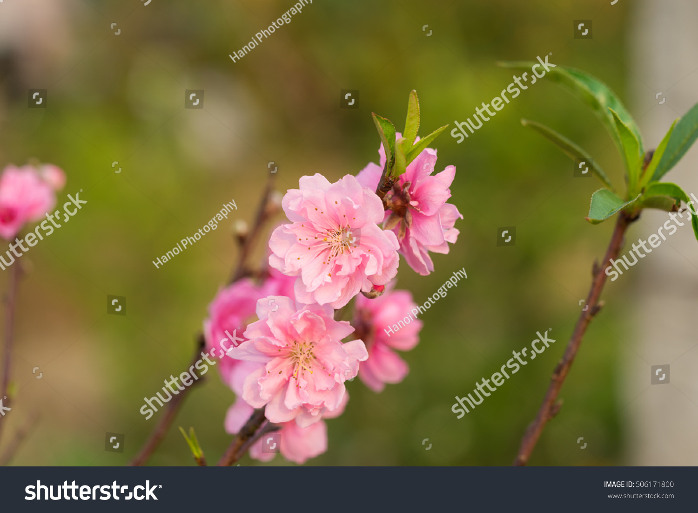 Peach Flower On Tree Peach Flower Is Symbol Of Vietnamese Lunar New