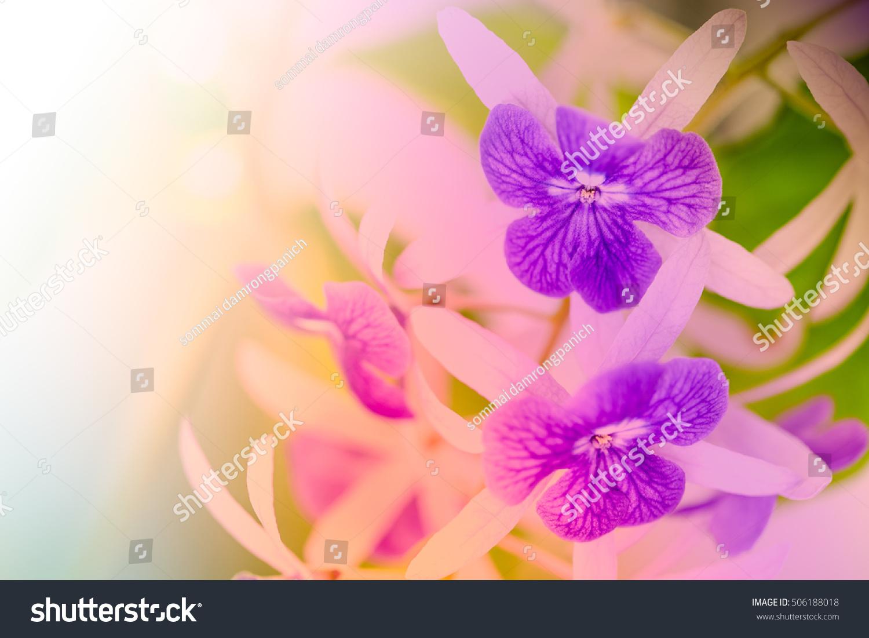 Pink Flowers In Gardenchrysanthemum Pink Chrysanthemum Flower In