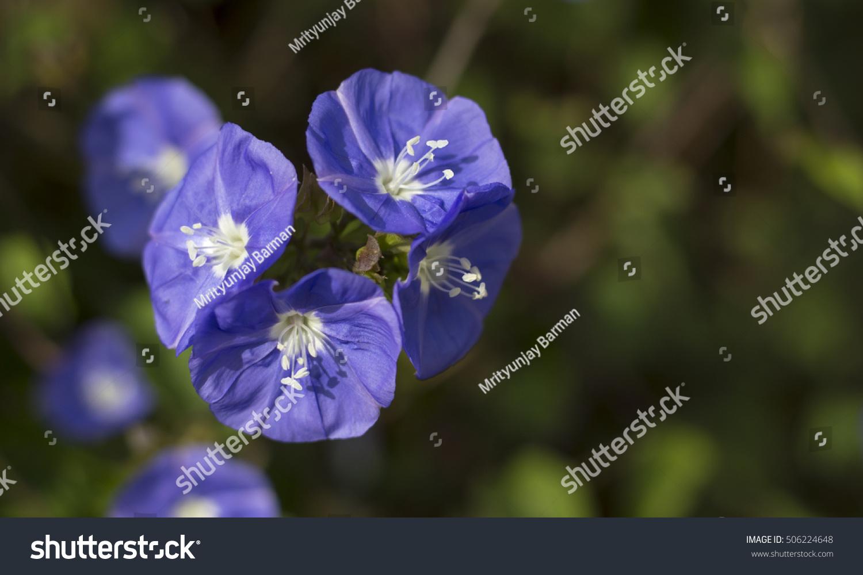 Blue Ivy Flower Stock Photo Edit Now 506224648 Shutterstock