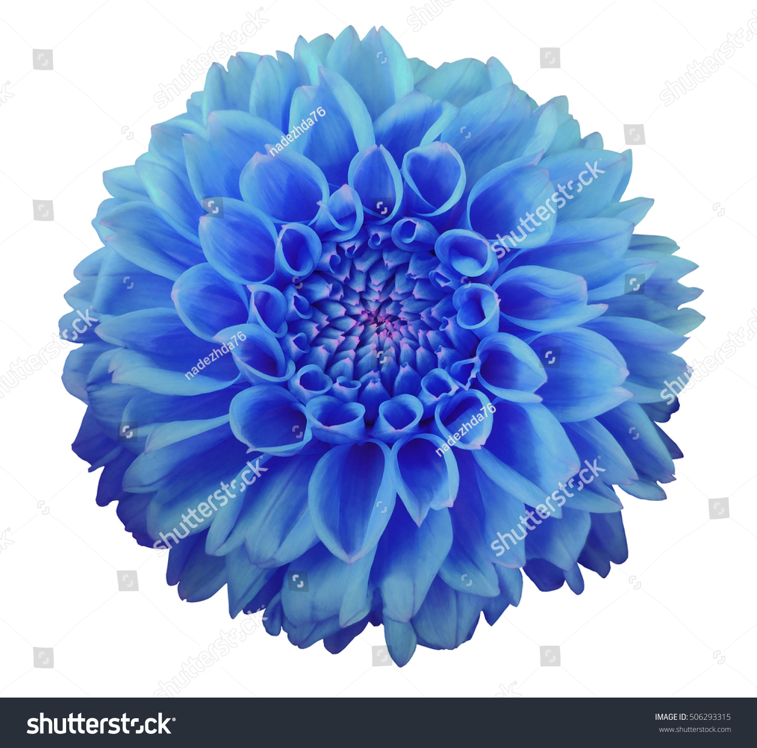 Royalty Free Blue Dahlia Flower White Background 506293315 Stock