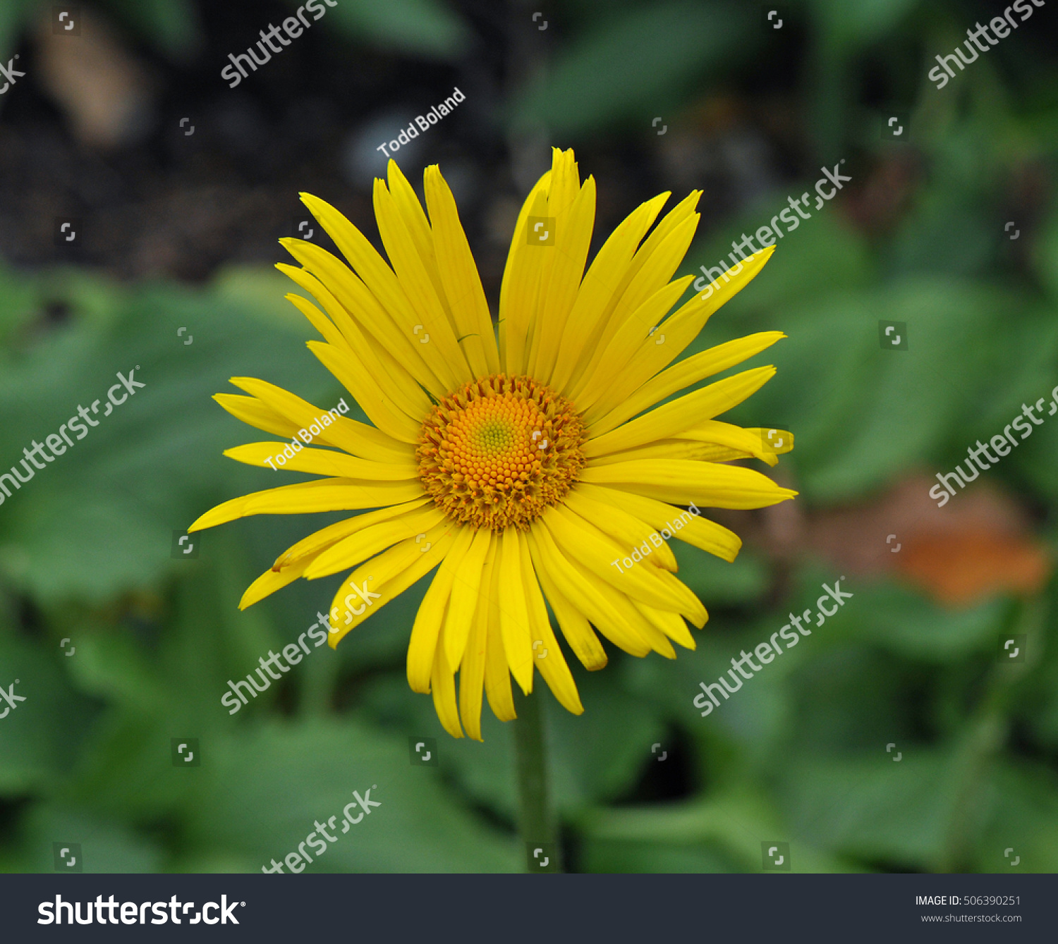 Yellow Daisy Like Flower From Leopards Bane Doronicum Plantagineum