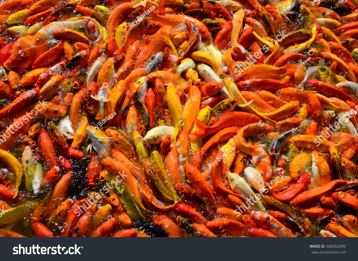 Busy Crowded Hungry Colorful Koi Fish Stock Photo (100% Legal ...