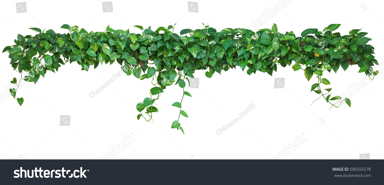 Heart Shaped Leaves Vine Devils Ivy Stock Photo Edit Now 506555278