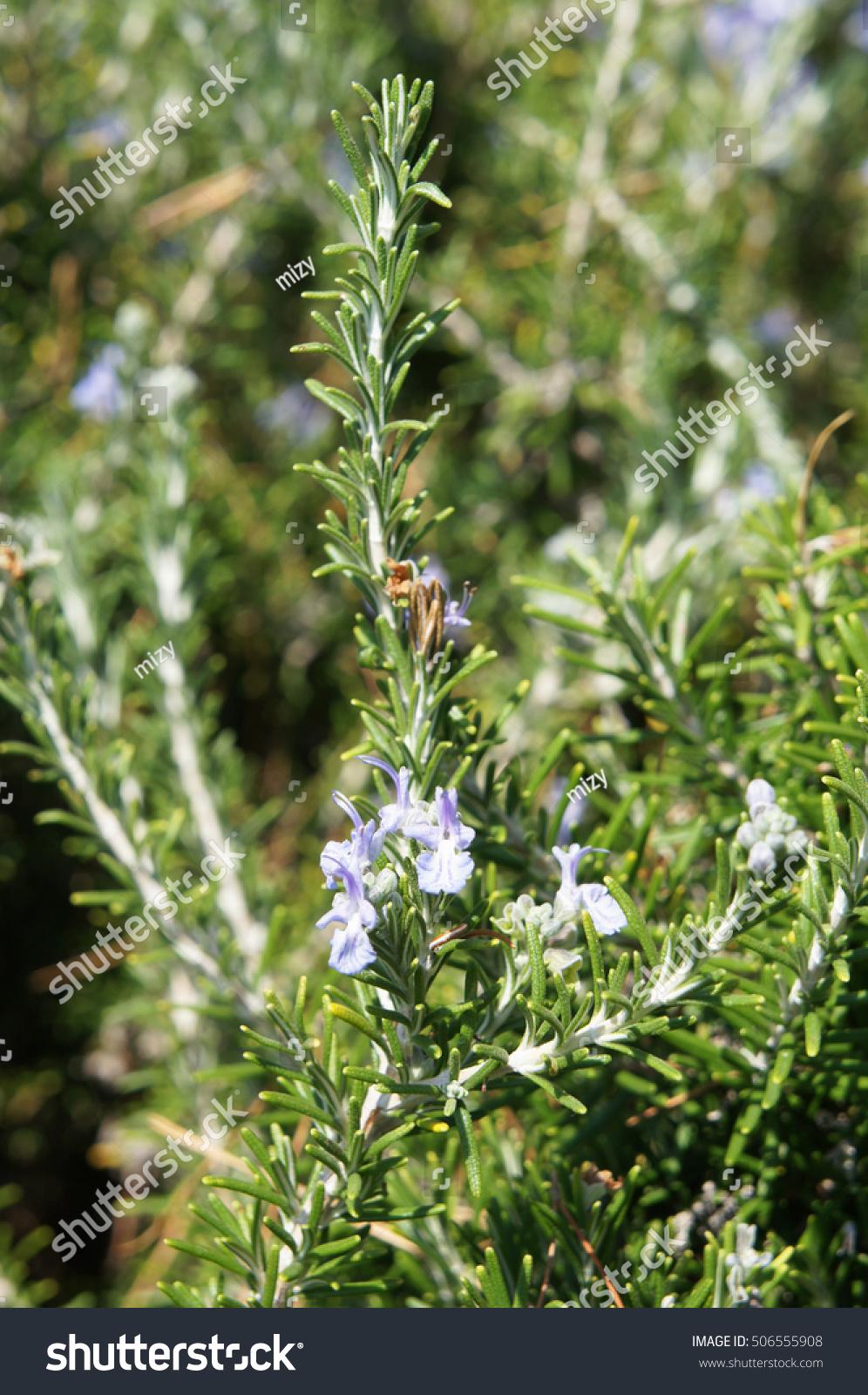 Bush Rosemary Rosmarinus Officinalis Herb Blue Stock Photo Edit Now