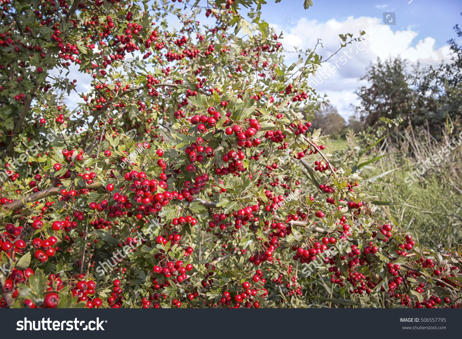 Royalty Free A Lush White Thorn Bush With Red Fruits 506557795