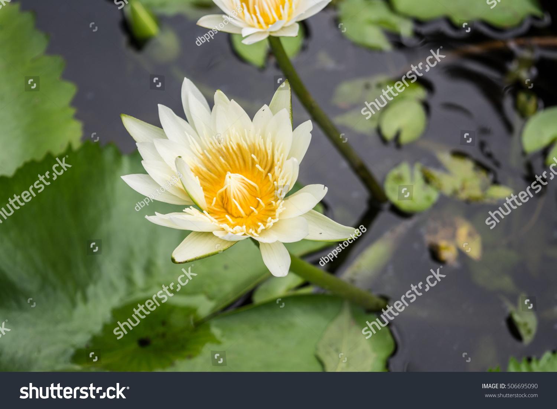 Lotus Flower In Pond Ez Canvas