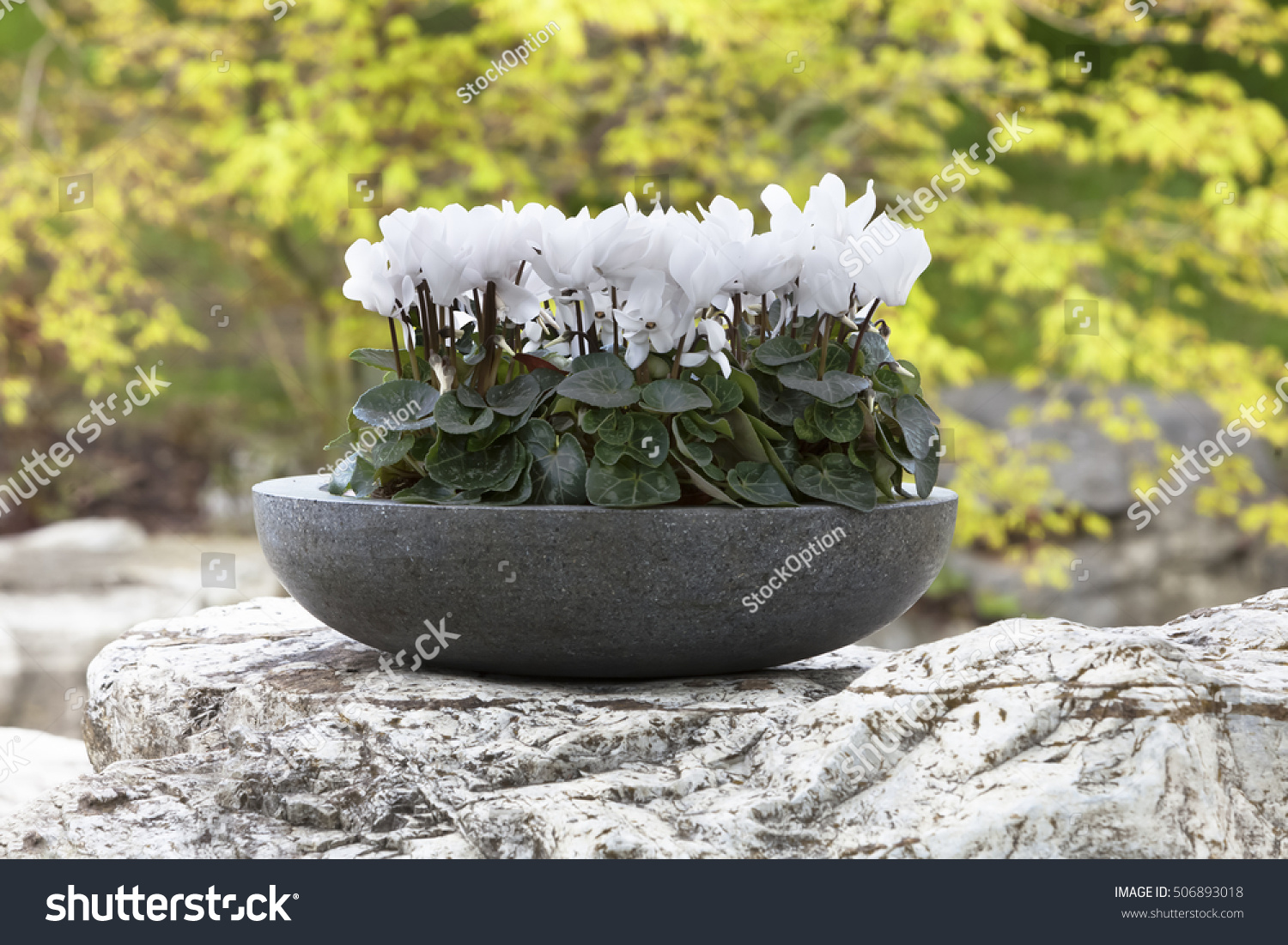 White Cyclamen Flower Indoor Plants Out Stock Photo Edit Now