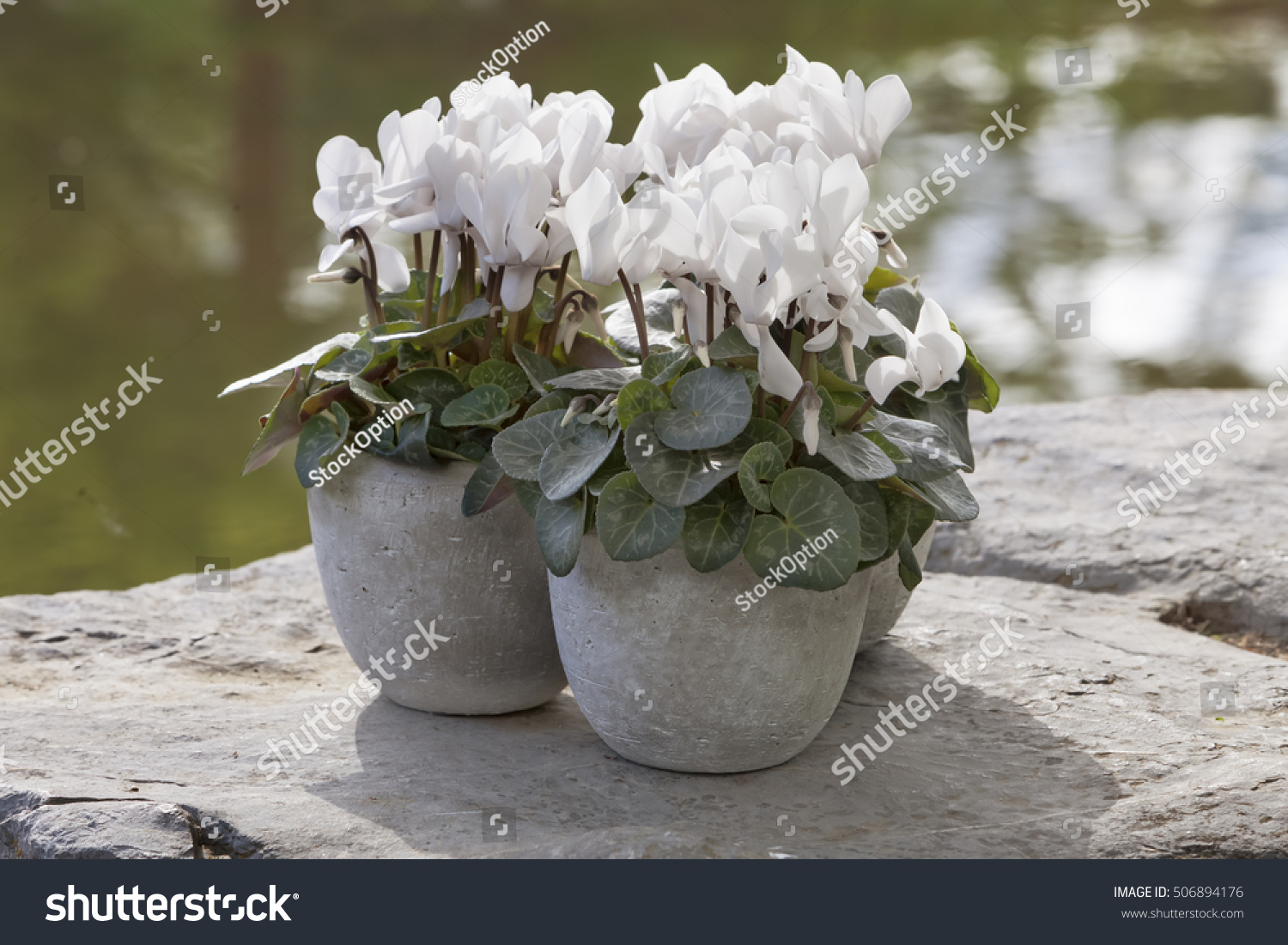 White Cyclamen Flowering Lake Indoor Plants Stock Photo Edit Now