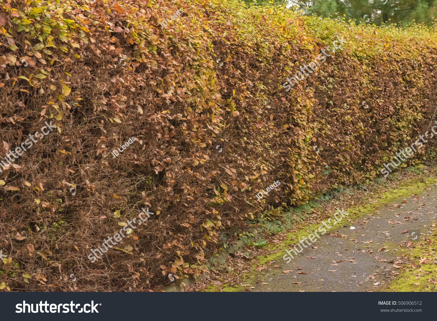 Beech Hedge English Garden Turning Brown Stock Photo (Edit Now ...