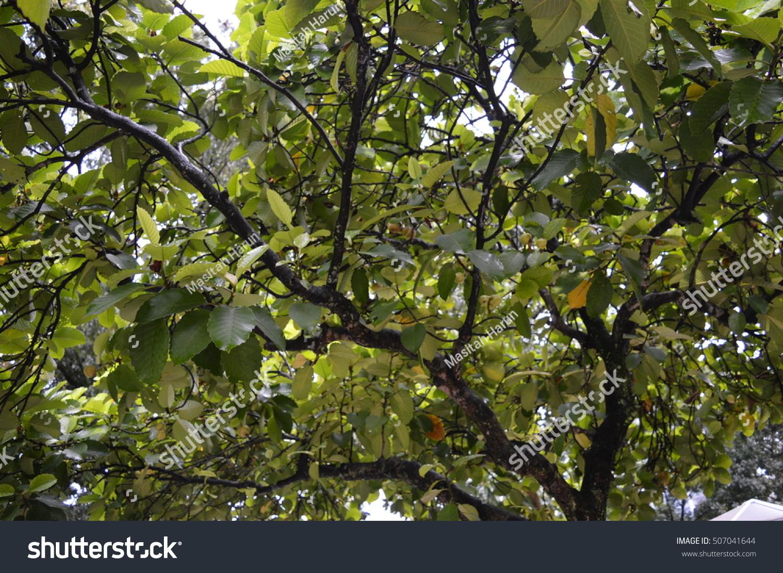 Elephant Apple Tree Will Green Color Stock Photo (Royalty Free ...
