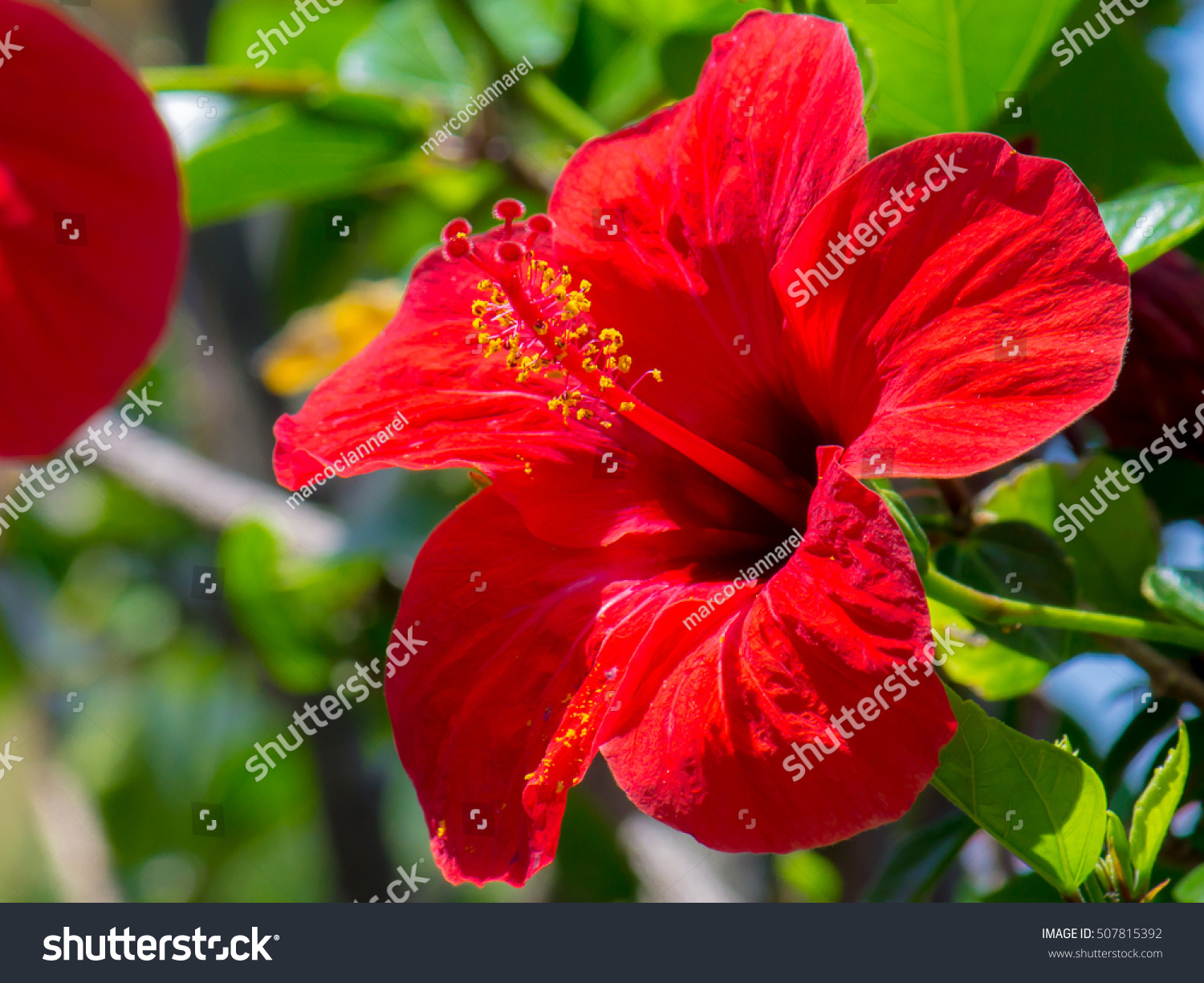 Close Up Of An Hibiscus Flower In A Garden Ez Canvas