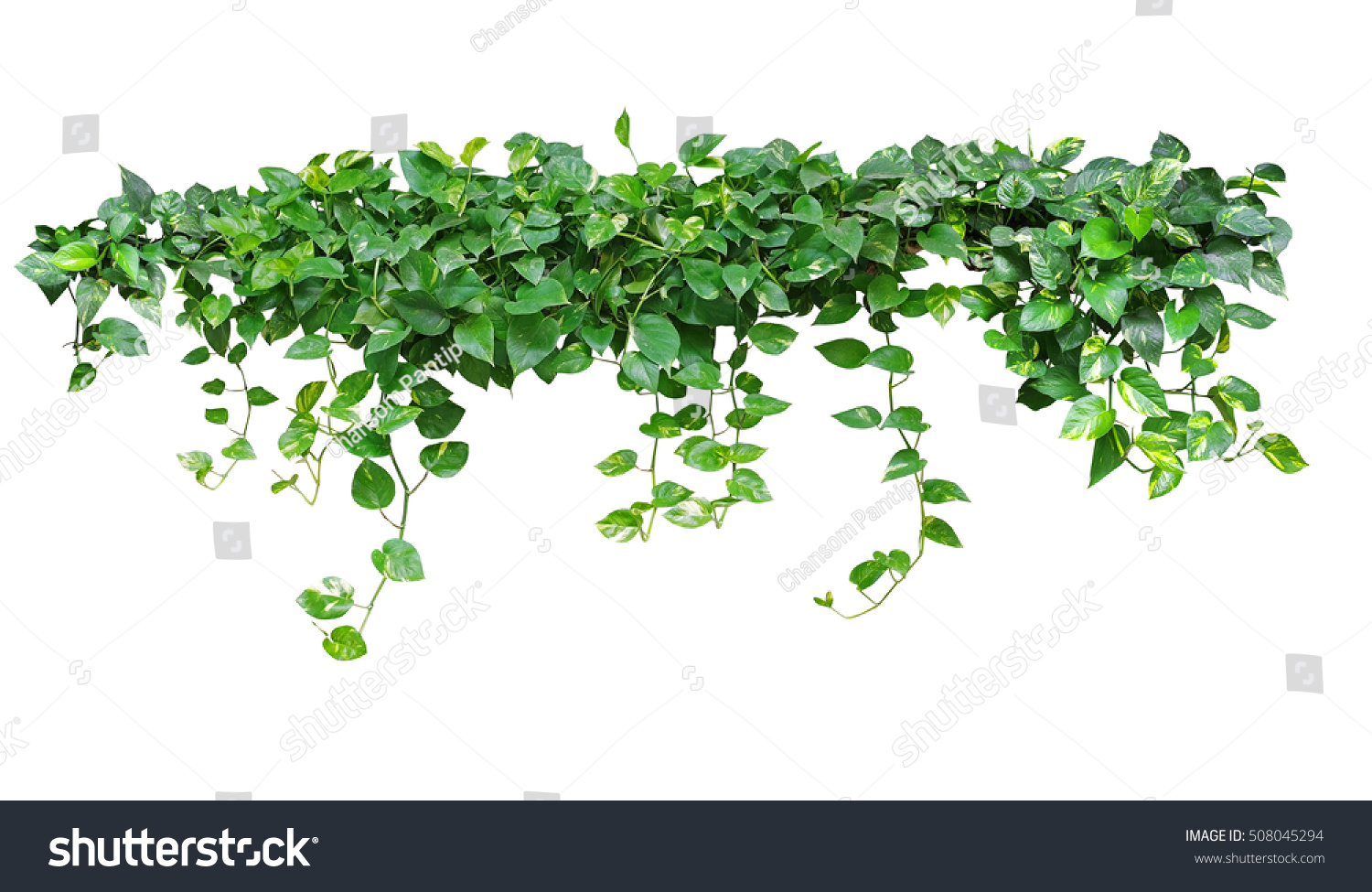 Heart shaped leaves vine devils ivy stock photo edit now 508045294 heart shaped leaves vine devils ivy golden pothos isolated on white background mightylinksfo