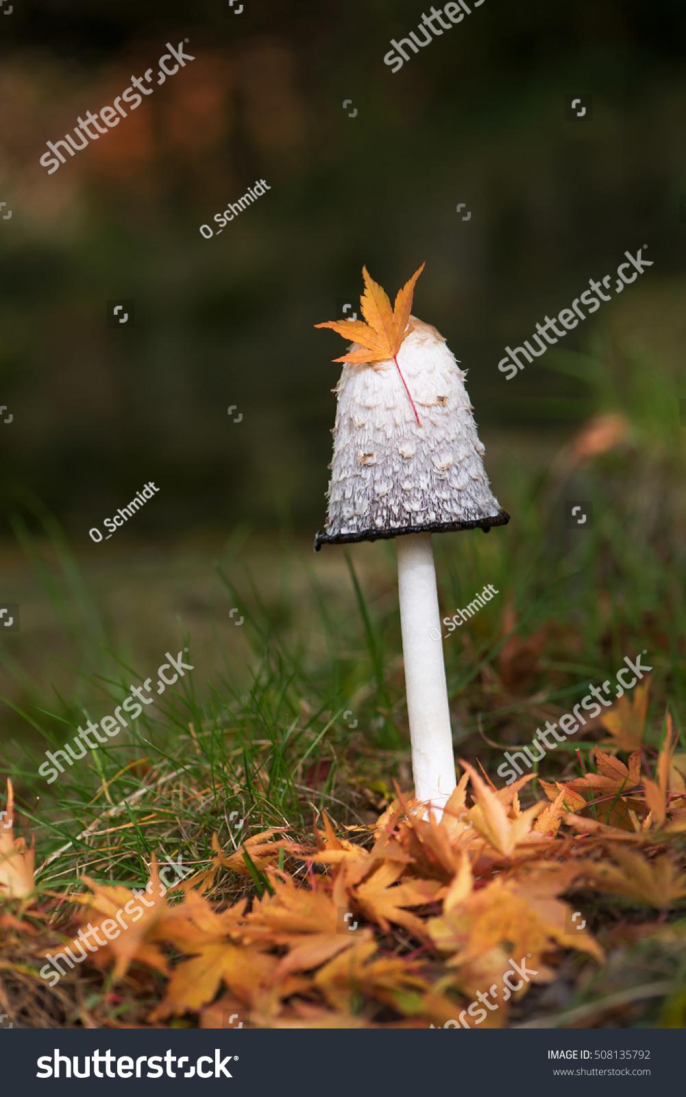 Shaggy Ink Cap Mushroom Growing On Stock Photo (Royalty Free ...