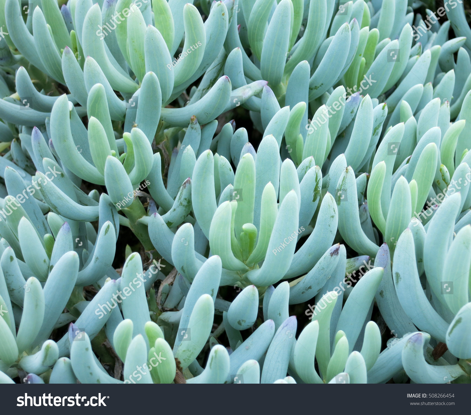 Blue chalk sticks plant - Senecio Serpens Blue Chalksticks Succulent Native To South Africa