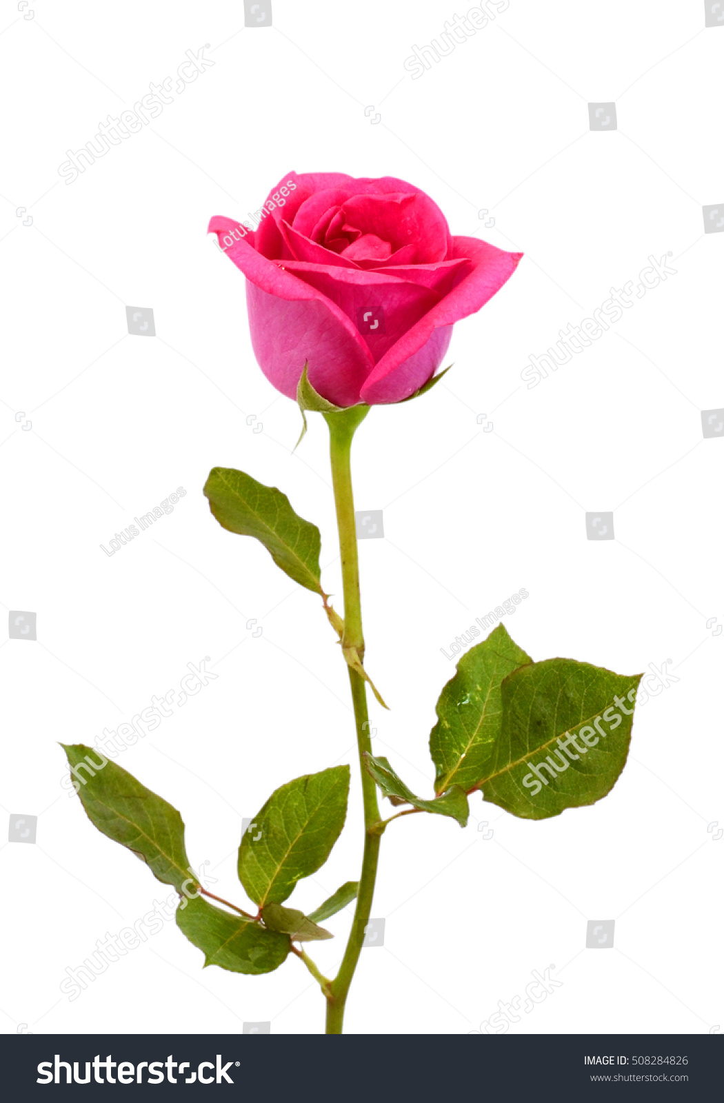 Beautiful Pink Rose Flower Isolated On Stock Photo Edit Now