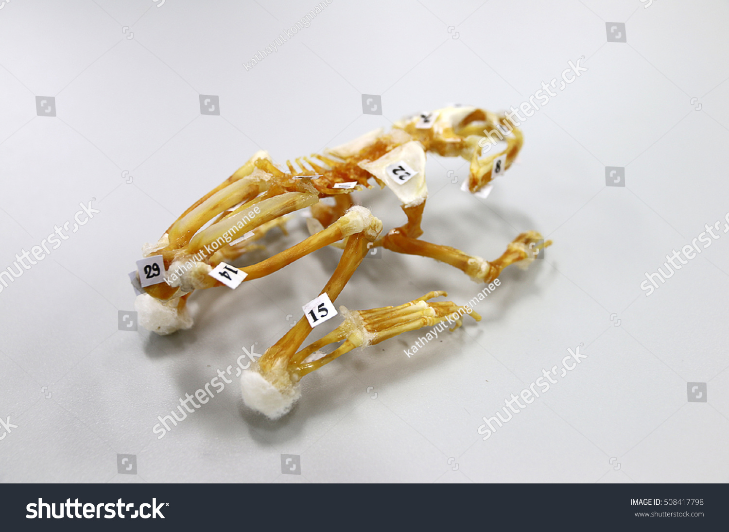 Frog Bone Comparative Anatomy Dissection Biology Stock Photo (100 ...