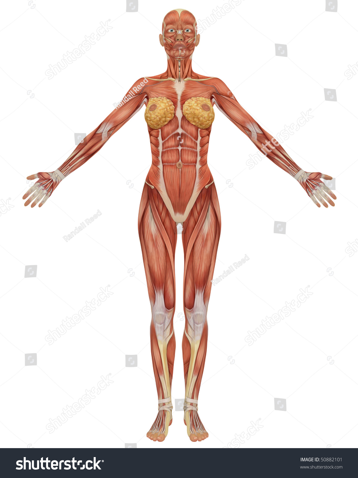Front View Female Muscular Anatomy Very Stock Illustration 50882101 ...