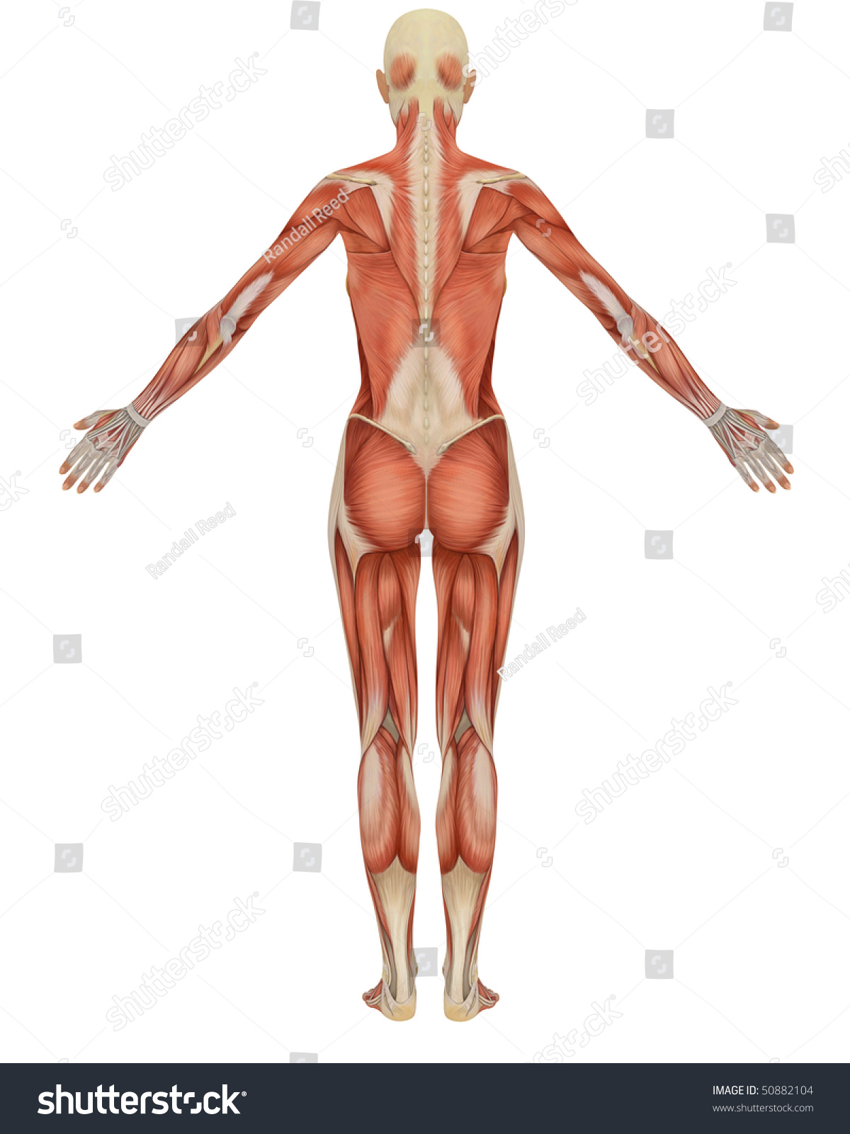 Royalty Free Stock Illustration Of Rear View Female Muscular Anatomy