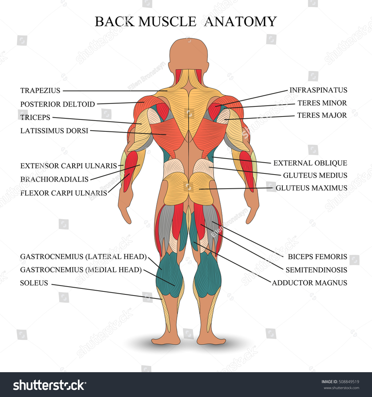 Anatomy Human Muscles Back Template Medical Stock Vektorgrafik